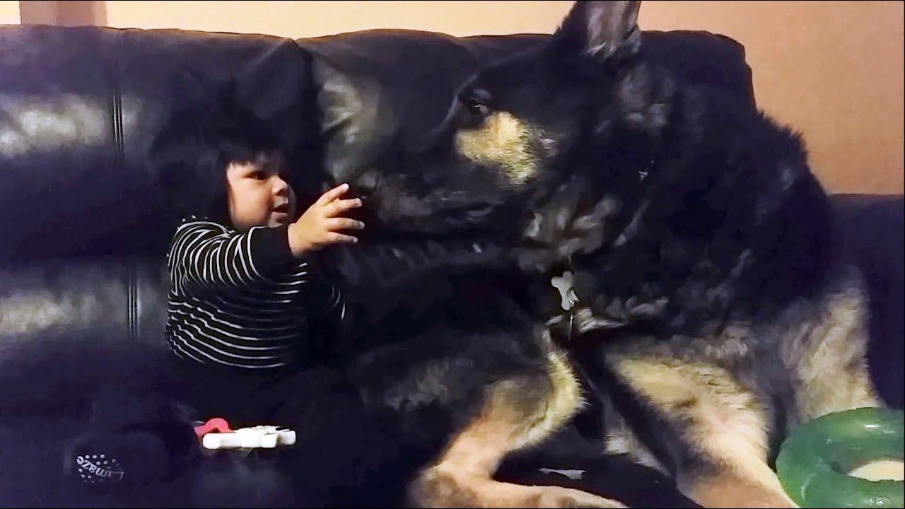 german shepherd dog is the best baby sitter youtube