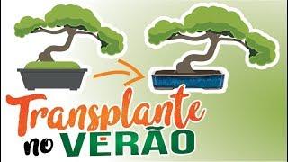 TRANSPLANTE DE BONSAI NO VERÃO É POSSÍVEL - ABC DO BONSAI RESPONDE