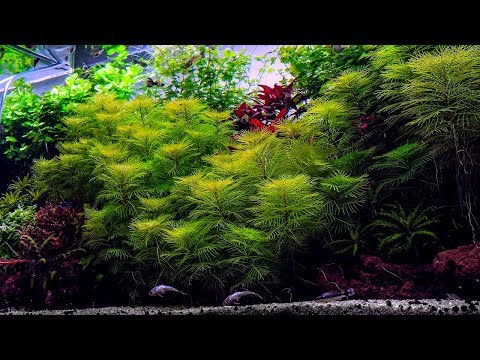 PLANTED TANK | GUPPY FISH BREEDING AQUARIUM