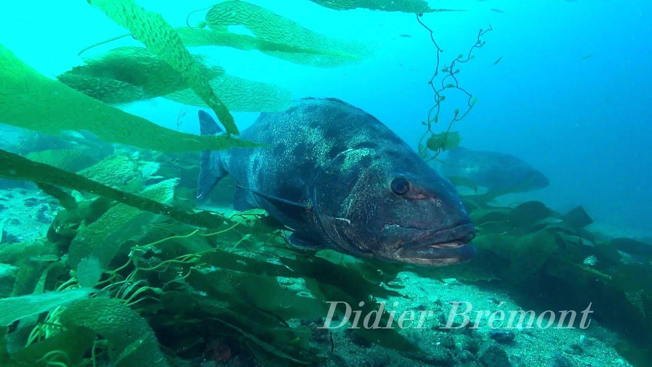 Stereolepsis gigas giant black le loup de mer g ant - Cuisiner le loup de mer ...