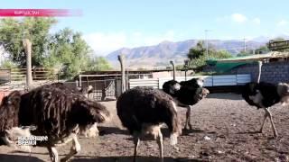 Кыргызский король страусов