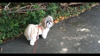 Going For A Walk With Shih Tzu Dog Lacey