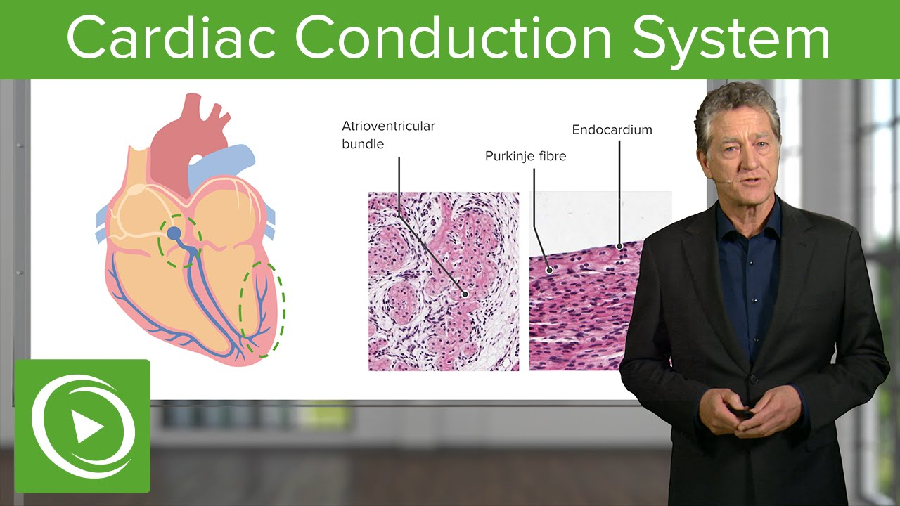 Cardiac Conduction System  – Histology | Lecturio