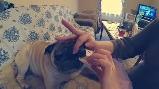 Как ухаживать за мопсом, стрижка ногтей.