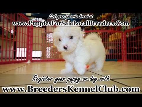MALTESE PUPPIES FOR SALE IN GEORGIA PUPPY BREEDERS