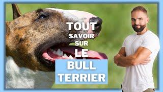 Race de chien Bull terrier : caractère, dressage, comportement, santé de ce chien de race...