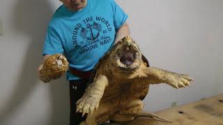 Самая сильная черепаха. Сможет убить слона своим укусом.