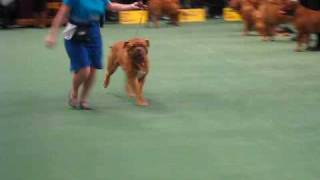 2009 Westminster Kennel Club. Best Of Breed. Dogue De Bordeaux.