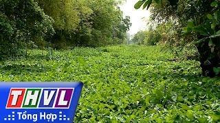 THVL | Lục bình phát triển tràn lan