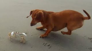 Dachshund Vs Crab Part Two - They Meet Again