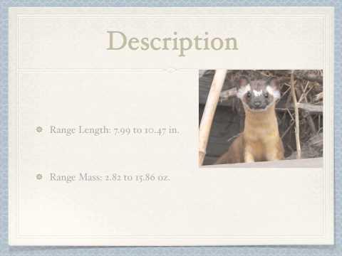 Long-tailed weasel Mustela frenata