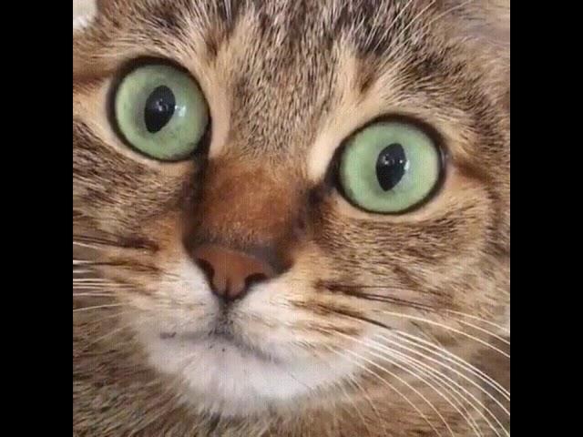 Cute Cat hiccups