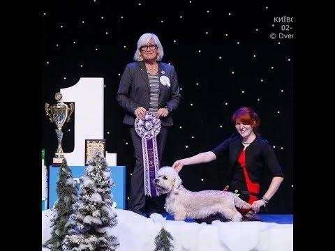 Showing a Dandie Dinmont Terrier