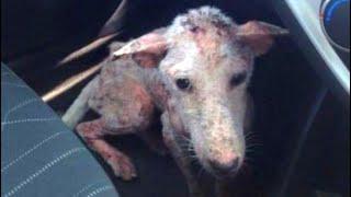 Внезапно на дорогу выбежала лысая собака - пёс был в тяжелом состоянии,  у  него была чесотка