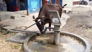 ああもう喉がカラッカラ、これで生き返ったわ!自分で手押しポンプを押して水を飲むインドのウシ