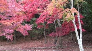 京都・嵯峨 紅葉 亀山公園 Kameyama Park in autumn, Kyoto(2013-11)