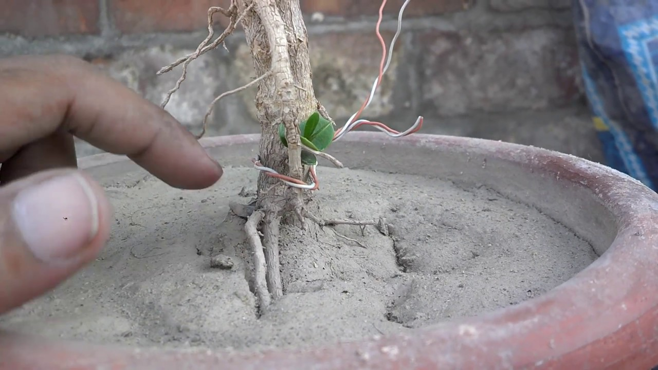 Bonsai Tree Meaning In Urdu Hindi Youtube