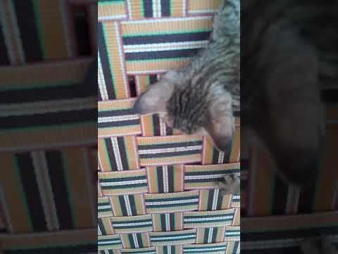 Desi cat playing