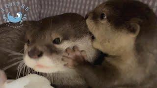 カワウソの赤ちゃんがママに攻撃したら倍返しされた! Otter baby attacked her mom and mom paid her back double!