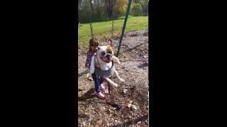 Funny English Bulldog In A Kids Swing!!!!!!!