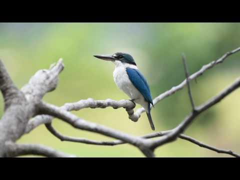 Collared Kingfisher Call - Chinese Gardens, Singapore
