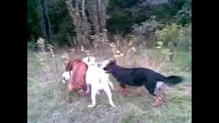 Неравная  схватка боксера  с тремя   собаками