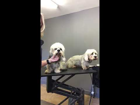 Dandie Dinmont Terrier  clipped & Stripped coat short intro