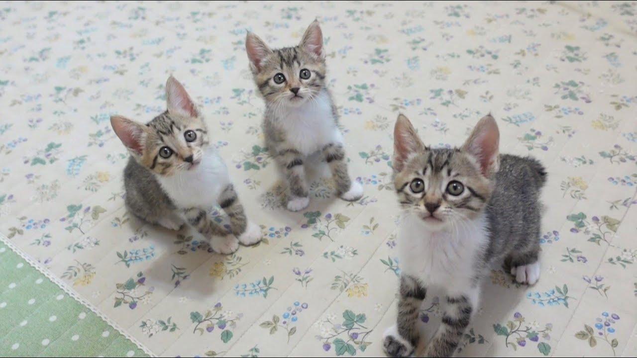 【生後47日】おもちゃでシンクロするそっくりな子猫たち