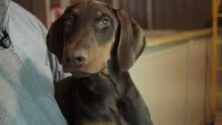 Meet The Puppies - King Charles Spaniel & Doberman Pinscher