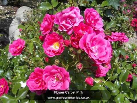 English, Patio, Ground Cover And Shrub Roses Photo Gallary