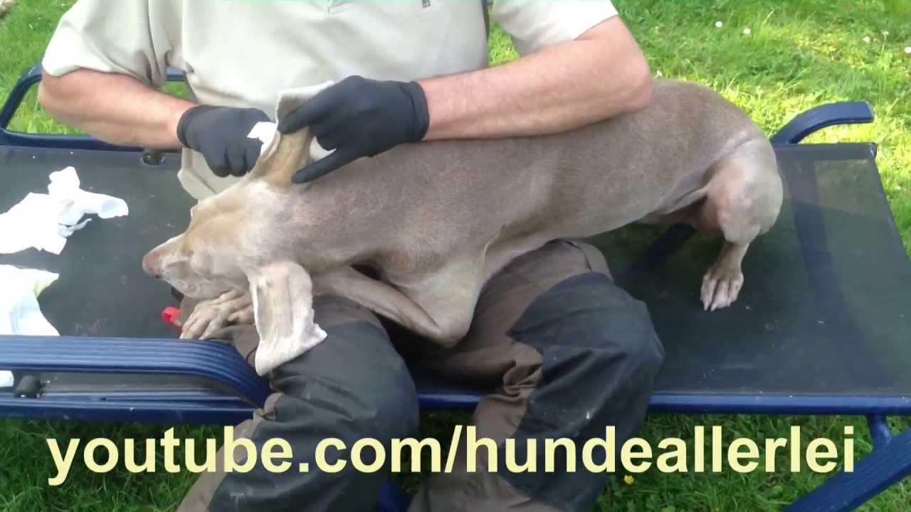 Ohrenreinigung Beim Hund Wie Geht Das Wie Putze Ich Die Ohren