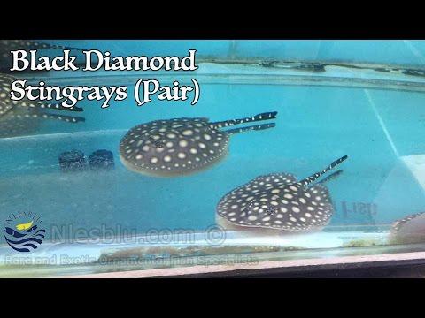 Black Diamond Stingray (Pair)