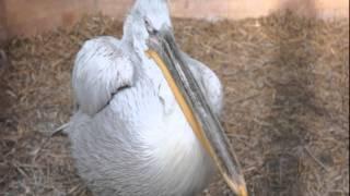 кудрявый пеликан Dalmatian Pelican