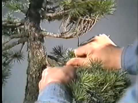 The World of Bonsai Master Masahiko Kimura  Part 1