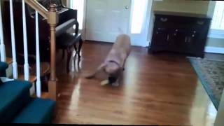 Funny Dogs Sliding on Wood Floors Compilation 2015 [HD] - Funny dogs video