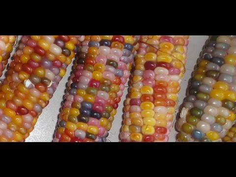 Growing and Harvesting Glass Gem Corn