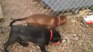 Lnf Dog Rescue's 10 Lab Boxer Pups 9 Weeks  2 13 13