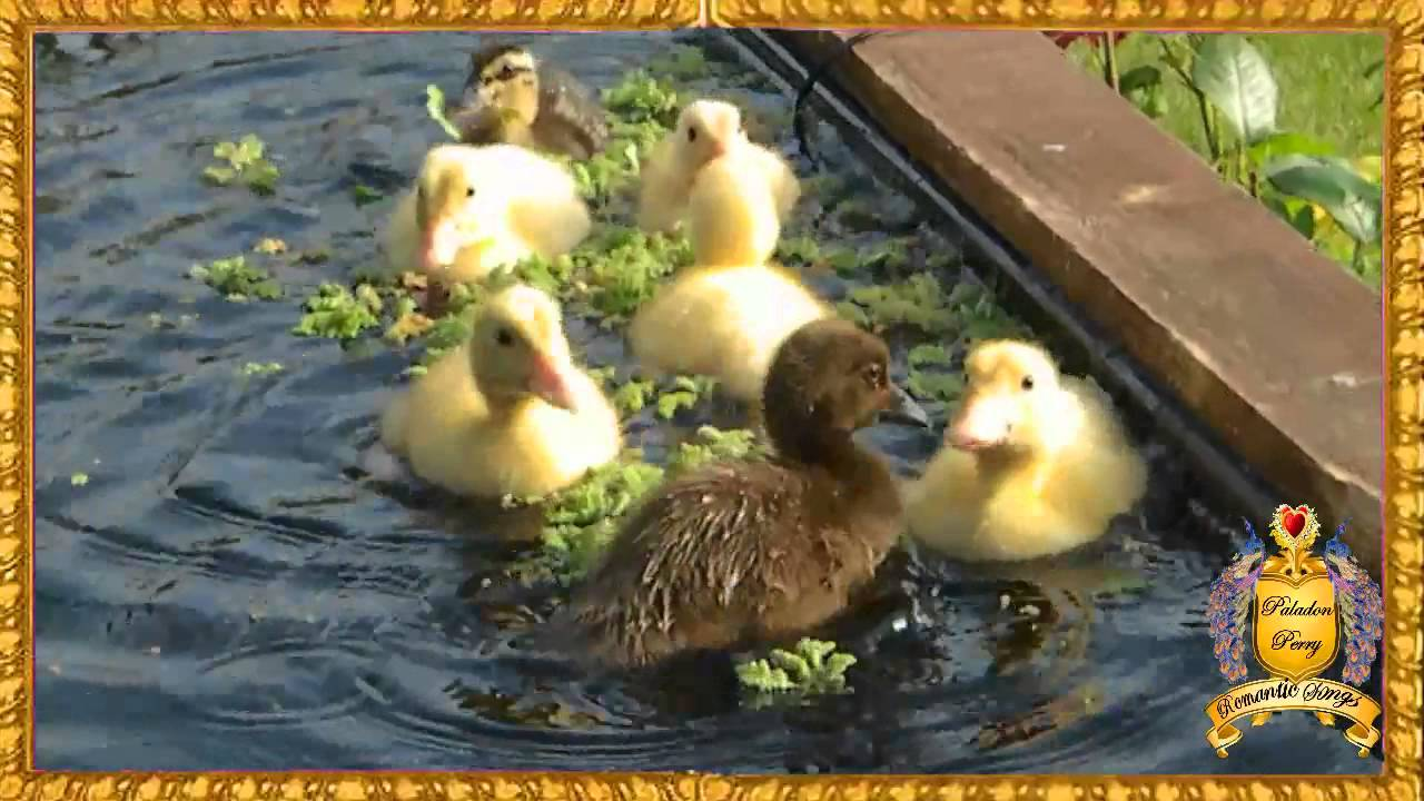 Very Cute baby ducks ducklings first day outside in pond ...