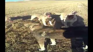 Çoban Köpeğini Rehin Alan Kangal Köpekler