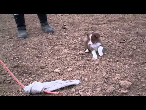 Border Collie Puppies for sale Working Sheep at 6 weeks old