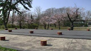車で訪ねる桜花爛漫 ① 秋田市 高清水公園と自衛隊通り 2014年4月24日