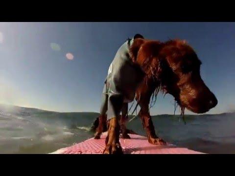 Surfing Dog Pino 20160216