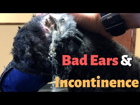 HOW TO GROOM A DOG WITH INCONTINENCE | 16 YEAR OLD POODLE