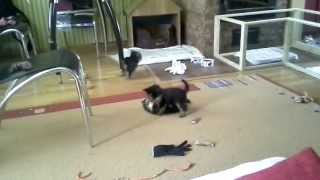 Tiny Yorkie Rampage(two-month Old Yorkshire Terriers Playing)