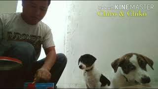 Anjing Anjing Lucu Makan Main Tidur 🤗 Puppy Lucu.Funny Baby Dogs