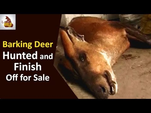 Animal Videos | Barking Deer Hunted and Finish Off for Sale | Animals Brutality | Wildlife