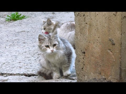 Kitten purrs and Mother cat hisses