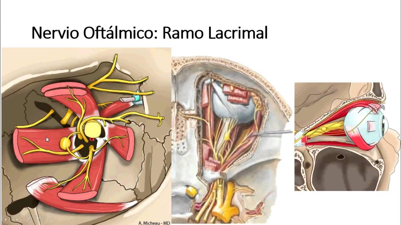 Nervio Trigémino - Ganglios, Ramos Oftálmico, Maxilar y Mandibular ...