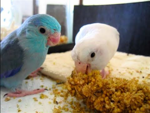 co parenting baby parrotlets