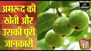 अमरूद की खेती की पूरी जानकारी, किस्में, पौधे की देखभाल   Guava Cultivation 
